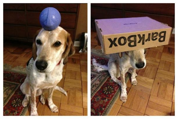 barkbox on head