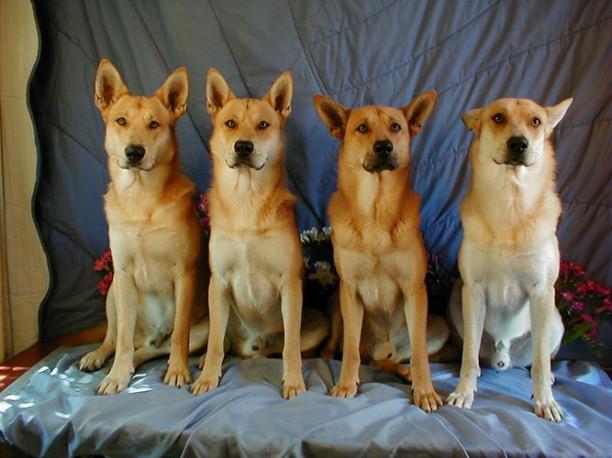 carolinadog