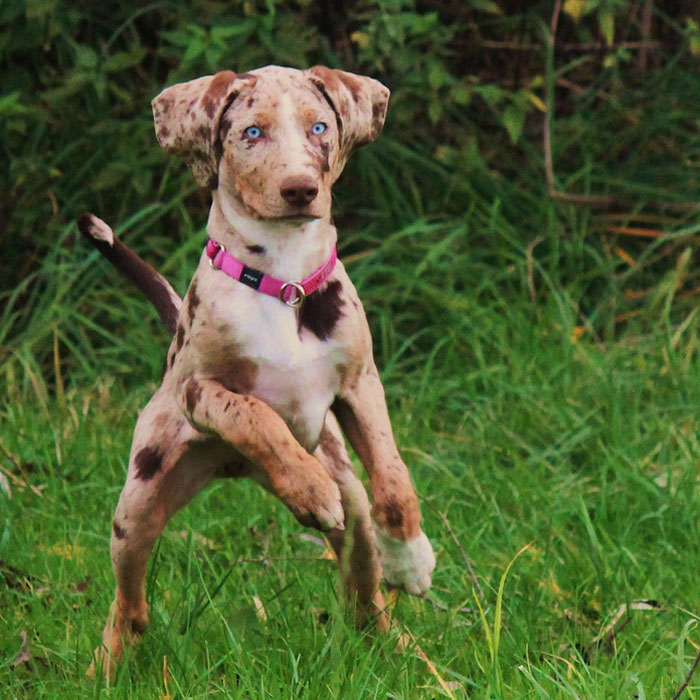 ... Dog is named after the Catahoula Parish in Louisiana, where the breed