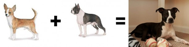 chihuahua boston terrier
