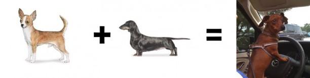 chihuahua dachshund