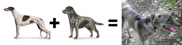 greyhound lab