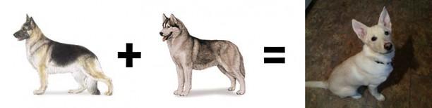 husky german shepherd