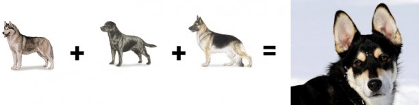 husky lab shepherd