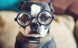 boston_terrier_glasses