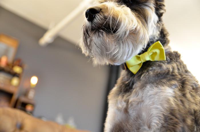 dog-bowtie-10