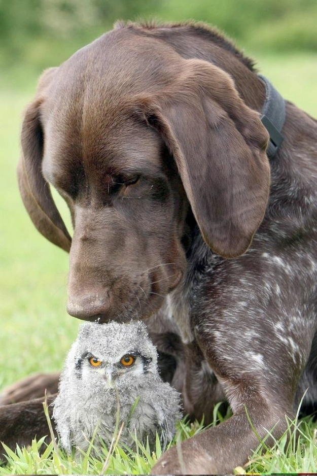 German Pointer and Owlet