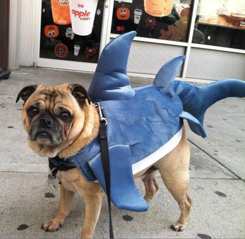 finn-shark-pug-dunkin.jpg