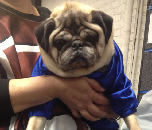 he wishes he was eating mms instead of being dressed up as one - Pugs Halloween