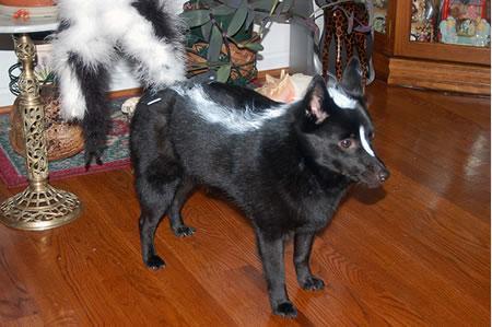 skunk_dog
