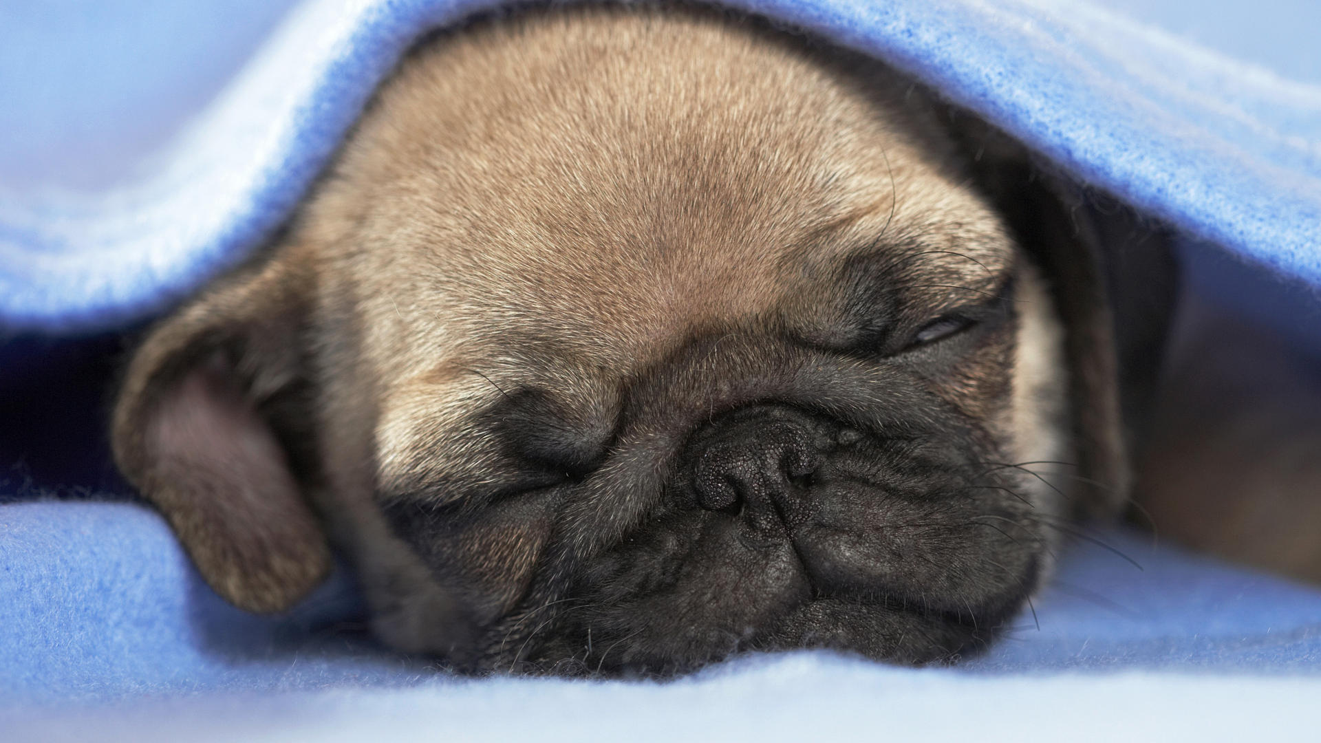 17 Deliciously Cute Pups In A Blanket