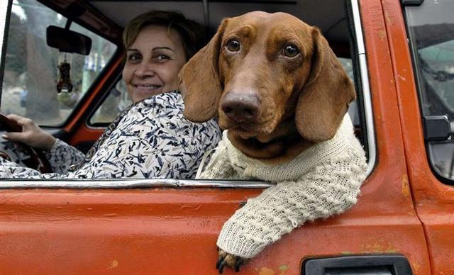 dachshund_driving
