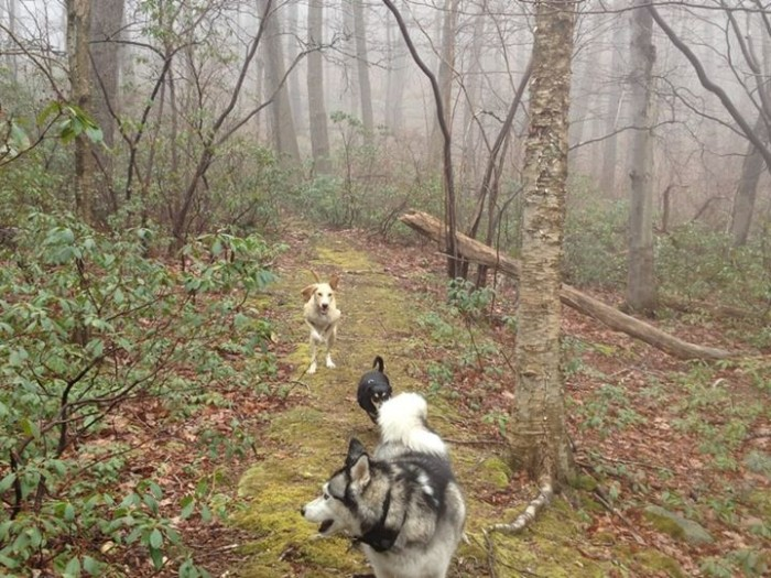 dogs_running_up_trail