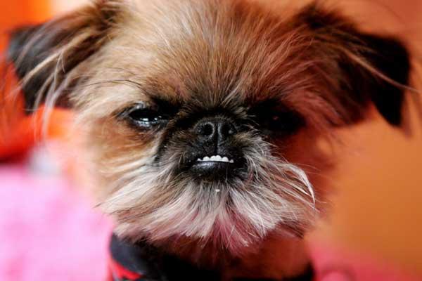 grumpy dog 12