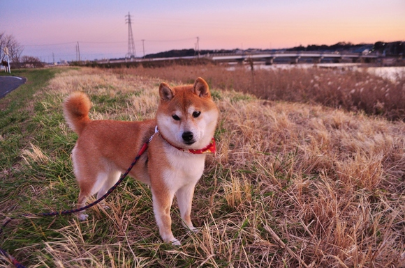 Meet the real dog behind the doge meme the barkpost a01265902342377 solutioingenieria Choice Image