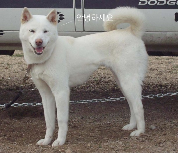 korean dog