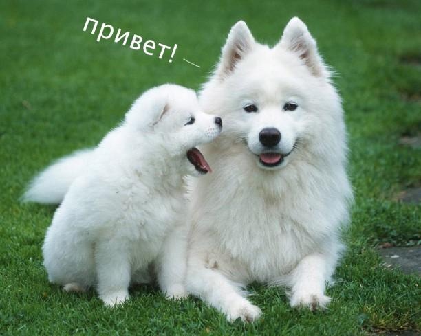 russian dog