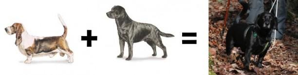 basset hound lab