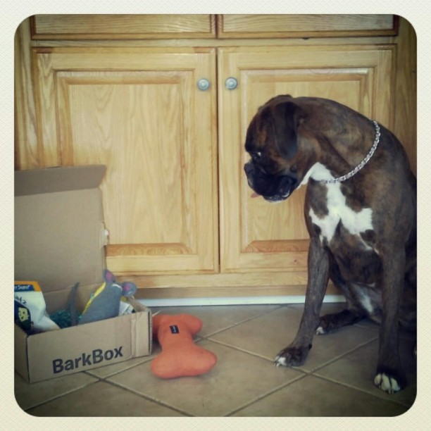 boxer with barkbox
