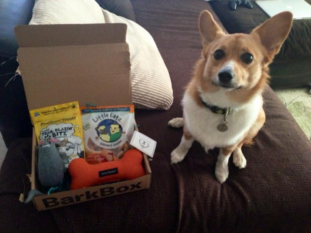 corgi with barkbox