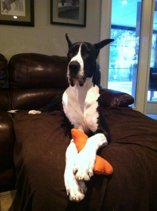 great dane with barkbox