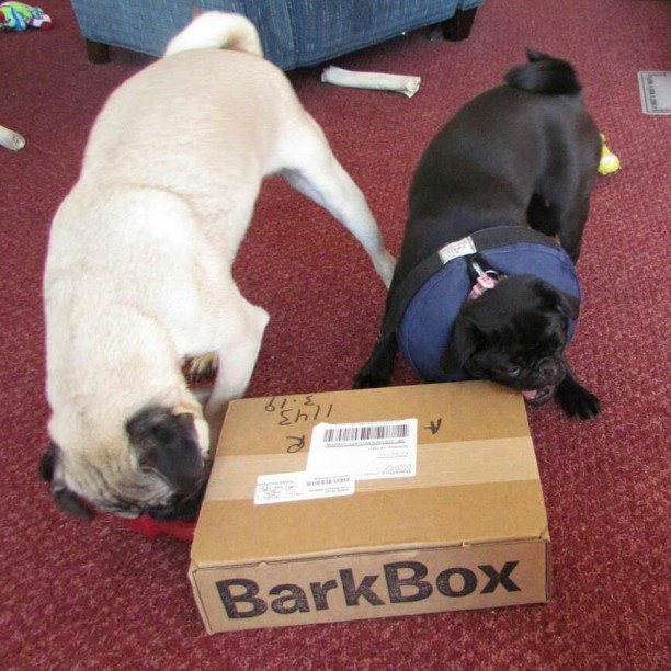 pugs with barkbox