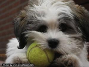 puppy chewing tennis ball