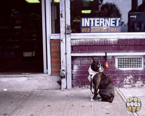 15 boston-spot dogs