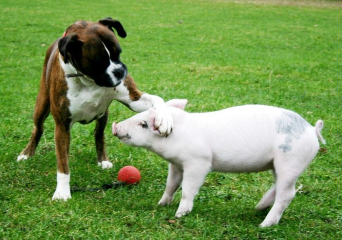 The Boxer and Her Piglet