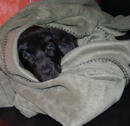 puppy bundled in a blanket