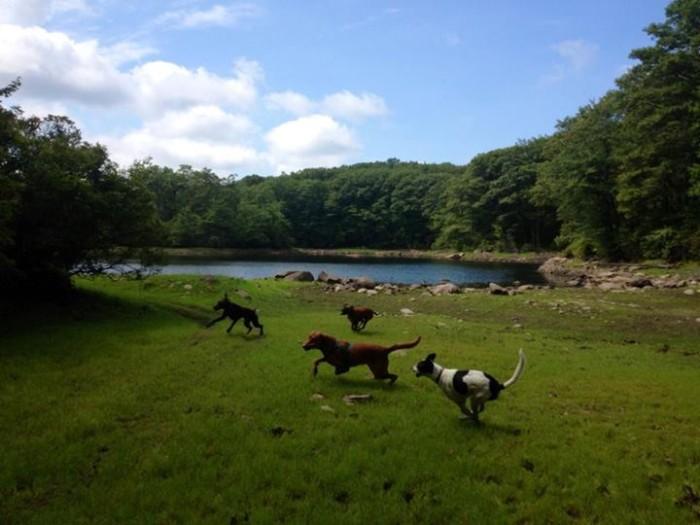 dogs_in_meadow1